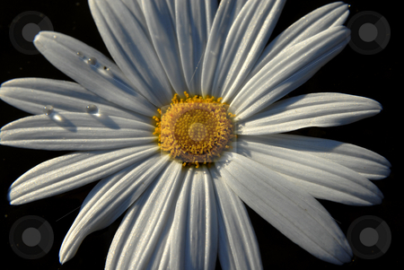 Daisy stock photo, A white daisy isolated on black background by Rui Vale de Sousa