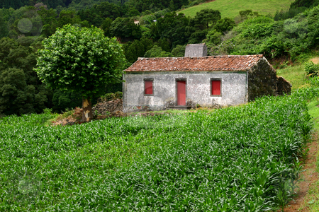 Farm house stock photo, Farm house with a field of corn in azores by Rui Vale de Sousa