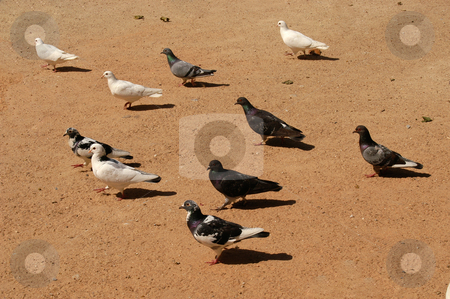 Doves stock photo, Doves in the ground by Rui Vale de Sousa