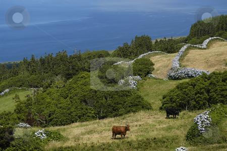 Cow stock photo, Azores farm cow by Rui Vale de Sousa