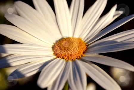 Daisy stock photo, A white daisy isolated on dark background by Rui Vale de Sousa