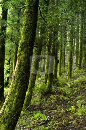 Forest stock photo, Azores rain forest at s miguel island by Rui Vale de Sousa