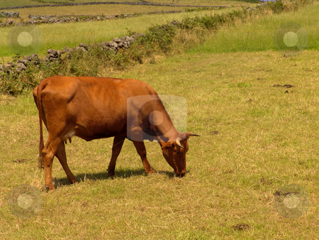 Cow stock photo, Cow in the field, azores islands by Rui Vale de Sousa