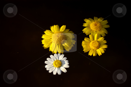 Flowers stock photo, Yellow flowers on the water by Rui Vale de Sousa