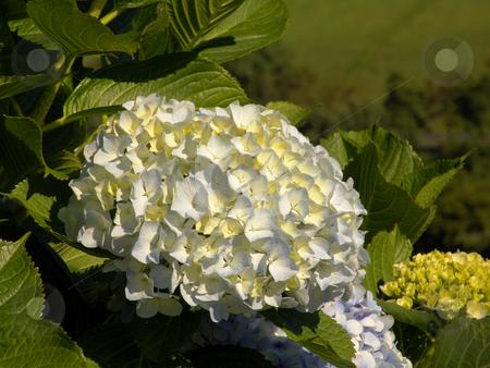 Flower stock photo, Azores flowers by Rui Vale de Sousa