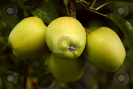 Apples stock photo, Green apple detail on a tree branch by Rui Vale de Sousa