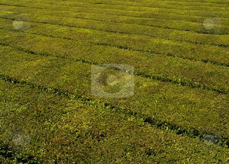 Tea stock photo, Tea plants by Rui Vale de Sousa
