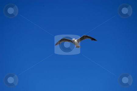 Seagull stock photo, Flying seagull by Rui Vale de Sousa