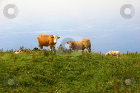 Cows stock photo, Azores farm cows at the coast of sao Miguel by Rui Vale de Sousa
