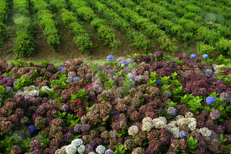 Hortensia stock photo, Hortensia typical flower of azores in a tea field by Rui Vale de Sousa
