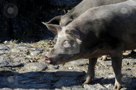 Pig stock photo, Pig in the street by Rui Vale de Sousa
