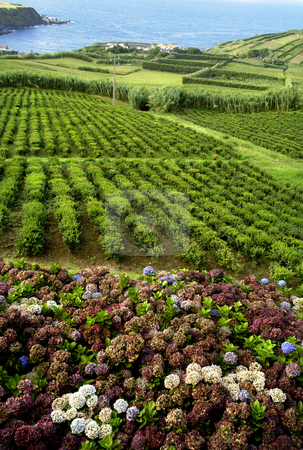 Tea stock photo, Hortensia typical flower of azores in a tea field by Rui Vale de Sousa