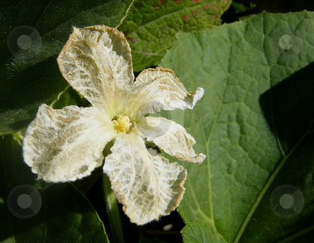 White Squash Flower stock photo, White Squash Flower, white flower on sqaush vine. by Dazz Lee Photography