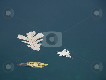 Floating Fall Leaves stock photo, Floating Fall Leaves, newly fallen autumn leaves floating on a pond's calm and cloudy surface. by Dazz Lee Photography