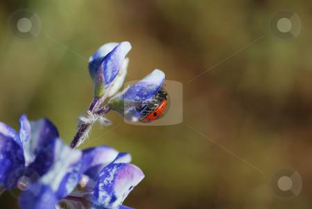 Ladybug on Flower stock photo, A red ladybug on a blue flower on a sunny day. by Denis Radovanovic