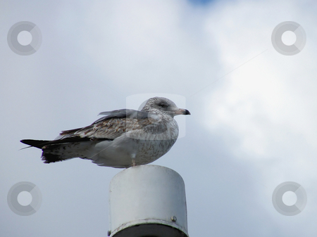 Seagull Perched On Pole stock photo, Seagull Perched On Pole by Dazz Lee Photography