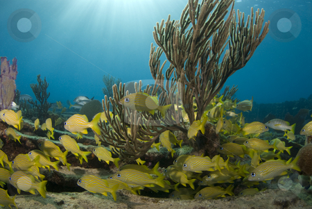 Yellow Fish and Coral stock photo, A school of yellow fish seek shelter behind a growth of soft coral on an ocean reef while the sun rays shine down through the water from the surface by A Cotton Photo