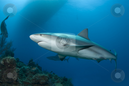 Reef Shark and Surface stock photo, A Caribbean Reef Shark (Carcharhinius perezi) swims along a reef in clear blue water with the shadow of a boat on the surface and another shark in the background. by A Cotton Photo