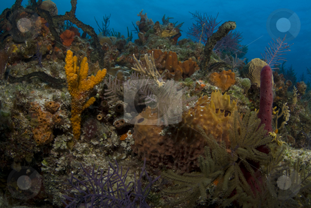 Bahama Reef Landscape stock photo, The ornate beauty of multiple corals on a Bahamian reef. by A Cotton Photo