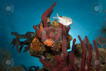 Red Bahama Coralhead stock photo, A fish swims around a head of red coral under the calm surface of the bahamas by A Cotton Photo