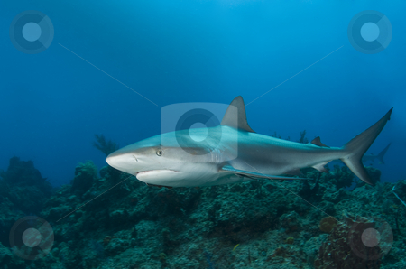 Reef Shark Profile stock photo, A Caribbean Reef Shark (Carcharhinius perezi) swims along a reef in the clear blue water of the Bahamas by A Cotton Photo
