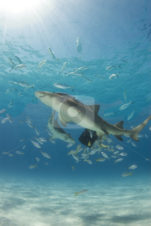 Lemons and Sunburst stock photo, Lemon Sharks (Negaprion brevirostris) circle a bait box with other fish under the spectacular rays from the sun above the ocean surface at Tiger Beach in the Bahamas. by A Cotton Photo