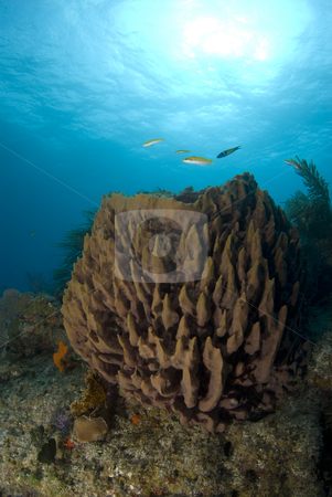 Brown Sponge Portrait stock photo, A brown coral head with fish swimming about under the sun glowed surface of the bahamian sea. by A Cotton Photo