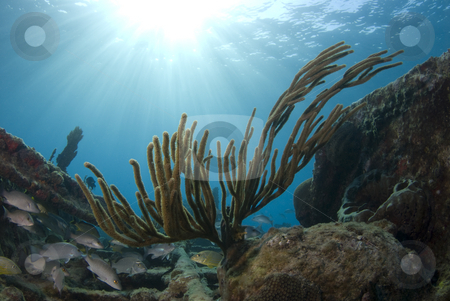 Bahama Coral Sunburst stock photo, A coral reef seascape with fish seeking shelter under the burst of rays from the sun above the surface, with the calm waves seen in the background. by A Cotton Photo