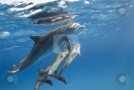 Dolphin with Pod stock photo, A pod of Atlantic Spotted Dolphin (Stenella frontalis) head to the surface while playing. by A Cotton Photo