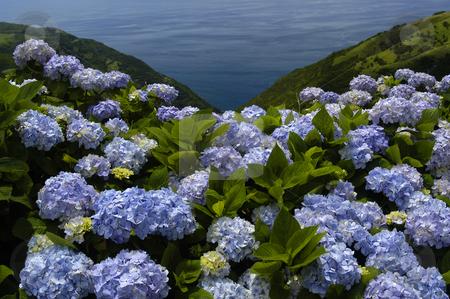 Flowers stock photo, Azores flowers by Rui Vale de Sousa