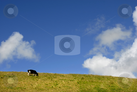 Cow stock photo, Farm cow in azores fileds and the sky by Rui Vale de Sousa