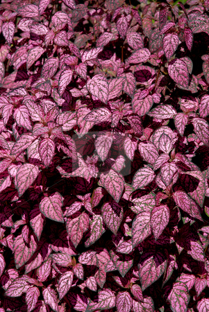 Leaves stock photo, Some pink leaves, detail from an azores garden by Rui Vale de Sousa