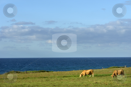 Cows stock photo, Azores farm cows at the coast of sao Miguel by Rui Vale de Sousa