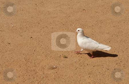 Dove stock photo, Dove in the ground by Rui Vale de Sousa