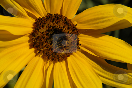 Sunflower stock photo, Close up view of a small yellow sunflower by Rui Vale de Sousa