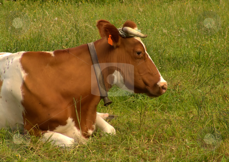 Cow stock photo, Cow in the field by Rui Vale de Sousa