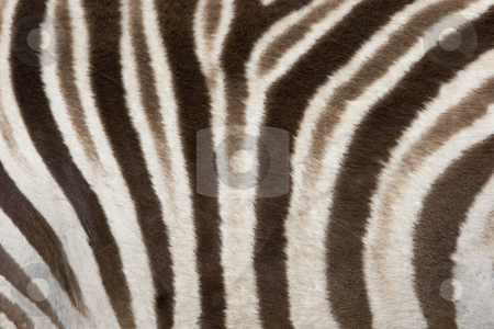 Zebra stock photo, Zebra pattern, Etosha National Park, Namibia by mdphot