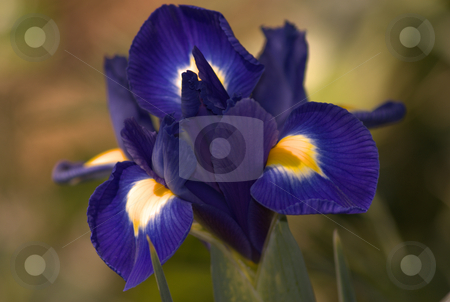 Blue/purple iris stock photo,  by Stephen Hagspiel