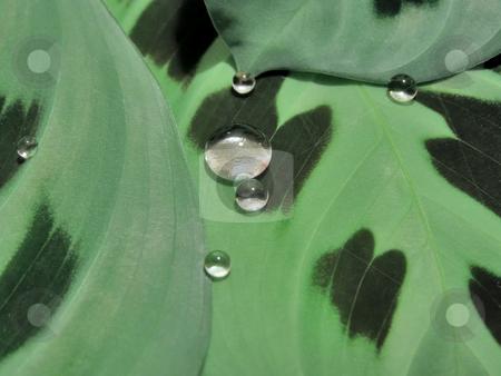 Drops on leaves stock photo, A lot of shining drops on wild green leaves by Sergej Razvodovskij