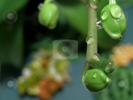 Orchid green buds stock photo, A lot of orchid green buds with drops by Sergej Razvodovskij