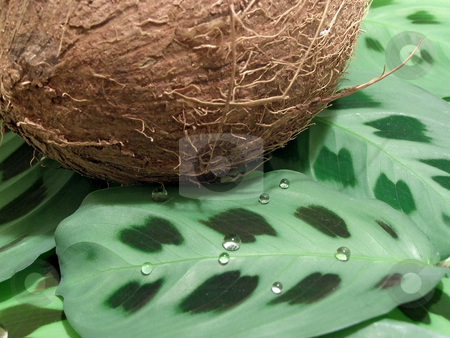 Coconut on leaves stock photo, Brown coconut on wild leaves with drops by Sergej Razvodovskij