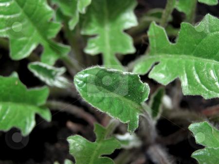 Green leaves stock photo, A lot of yang green leaves of gerber by Sergej Razvodovskij