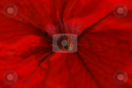 Red petunia stock photo, Close-up red petunia by Leyla Akhundova