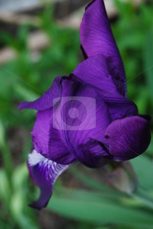 Iris flower stock photo, Iris in blossom in the garden by Leyla Akhundova
