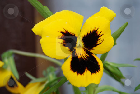Yellow pansy stock photo, Yellow pansy in the garden by Leyla Akhundova