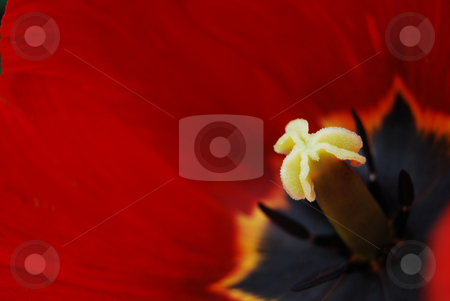 Tulip stock photo, Close-up stamen of red emperor tulip by Leyla Akhundova