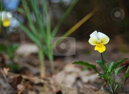 Yellow wild pansy  stock photo, Yellow wild pansy grows in the forest by Leyla Akhundova