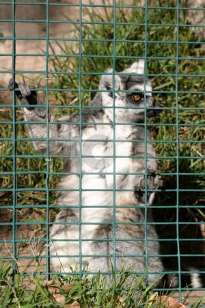 Ring Tailed Lemur stock photo, Lemur looking out of its cage in a zoo. by Henrik Lehnerer