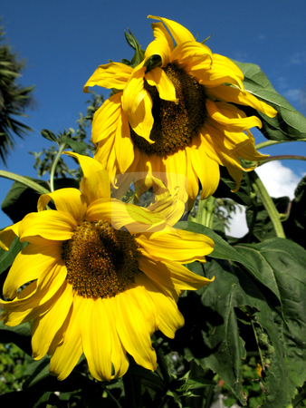 Sunflower stock photo, Sunflower detail at the sun among green vegetation by Rui Vale de Sousa