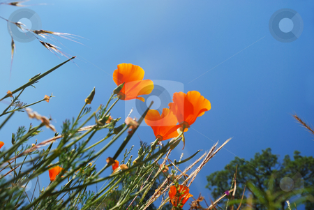 California Poppies Reaching Sky stock photo, California poppies (Eschscholzia californica) with blue sky background. by Denis Radovanovic